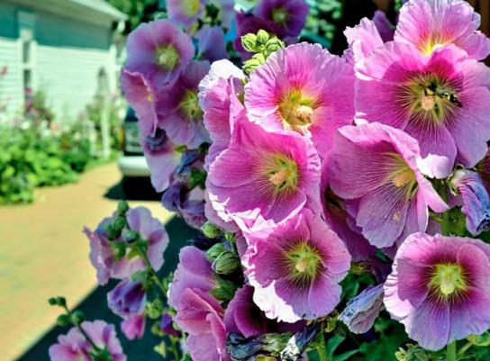 Цветок мальва - фото 6