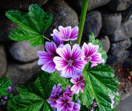Цветок мальва - фото 7