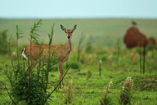 Детеныш пампасного оленя