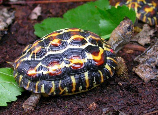 фото паучьей черепахи