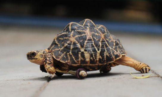 фото шишковатой черепахи