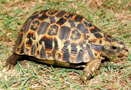 чем кормить сухопутных черепах в домашних условиях