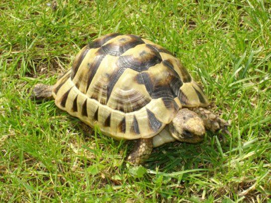 размножение сухопутных черепах в домашних условиях