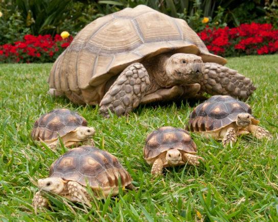 сухопутная черепаха с детенышами