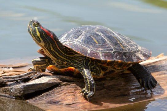 водные черепахи - фото 1