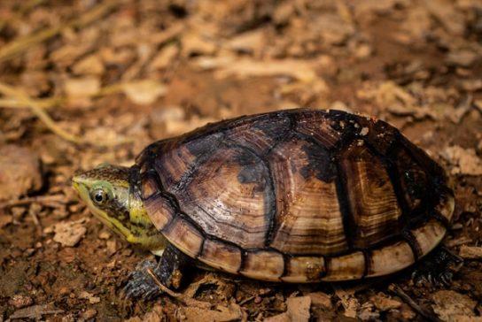 водные черепахи - фото 7