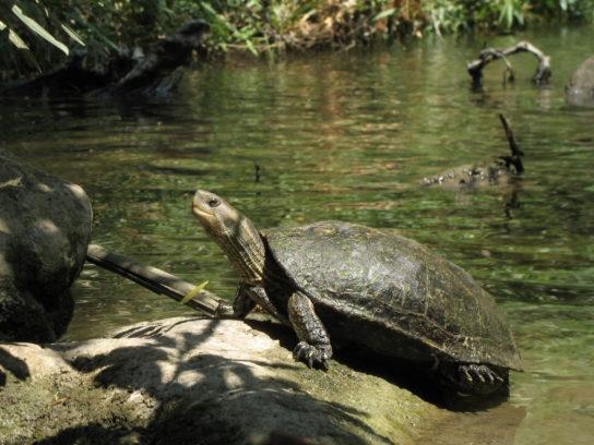 водные черепахи - фото 3