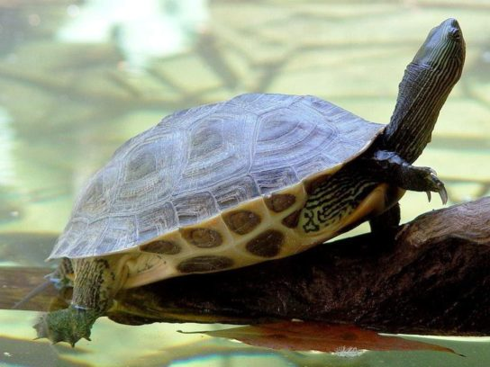 водные черепахи - фото 4