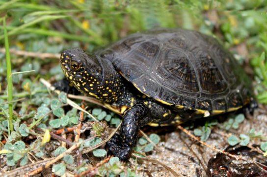 водные черепахи - фото 6