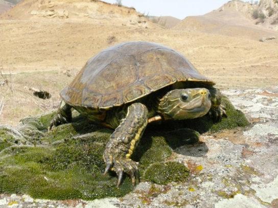 водные черепахи - фото 9