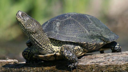 водные черепахи - фото 10