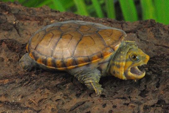 водные черепахи - фото 2