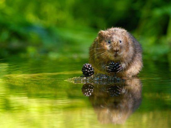 водяная крыса полевка в воде