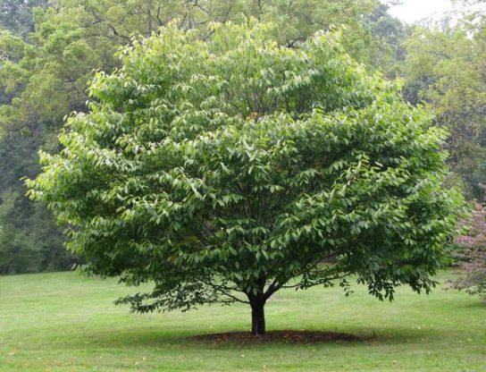 Дерево граб - фото 5