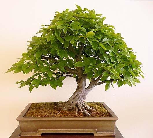 Дерево граб - фото 7