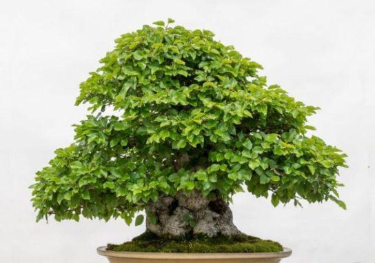 Дерево граб - фото 4