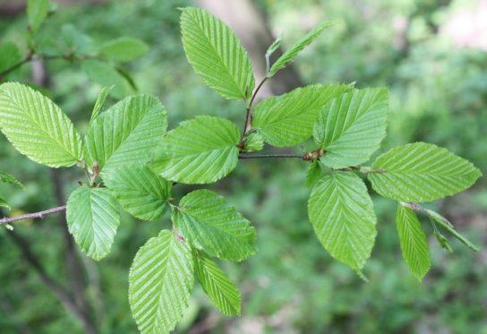 Дерево граб - фото 6