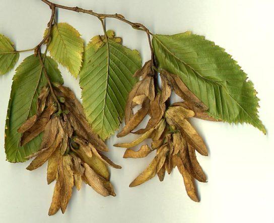 Дерево граб - фото 8