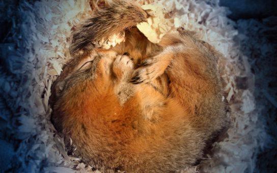Какие лесные животные впадают спячку - картинка 2