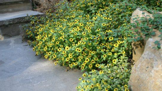 растение санвиталия - фото 3