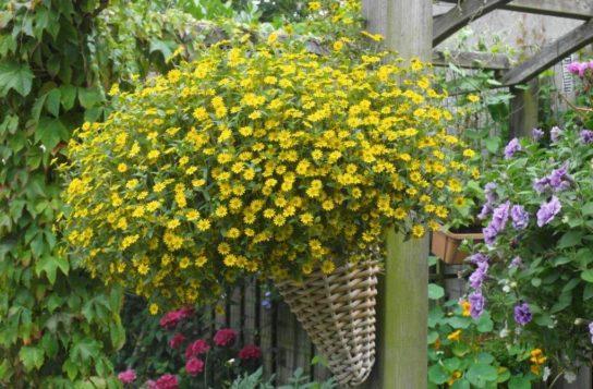 растение санвиталия - фото 4