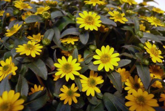 растение санвиталия - фото 5