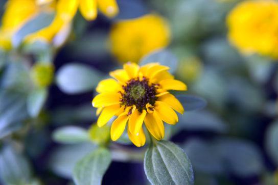 растение санвиталия - фото 6