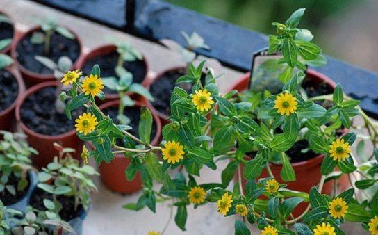 растение санвиталия - фото 8