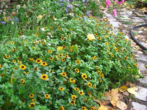 растение санвиталия - фото 9