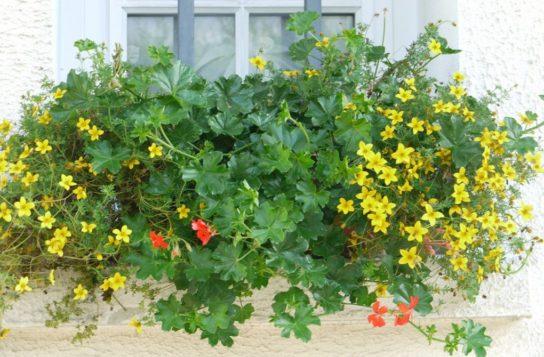 растение санвиталия - фото 7