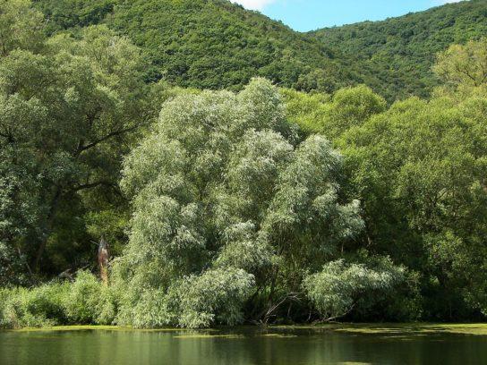дерево ива белая - фото 9