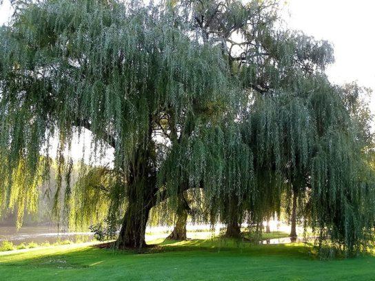 дерево ива белая - фото 1