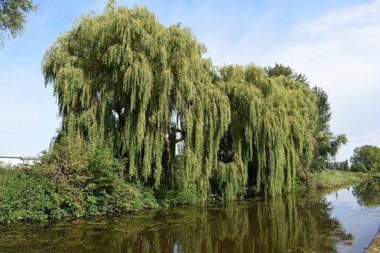 дерево ива белая - фото 2