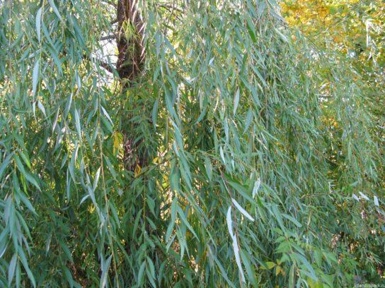 дерево ива белая - фото 5