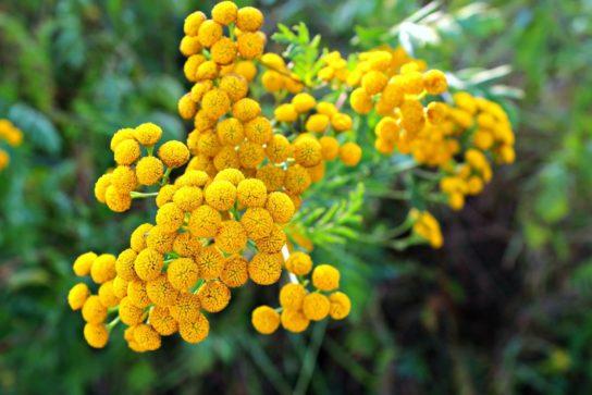 растение пижма - фото 1