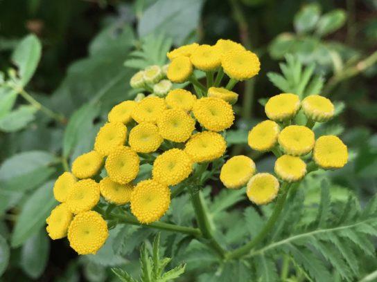 растение пижма - фото 2