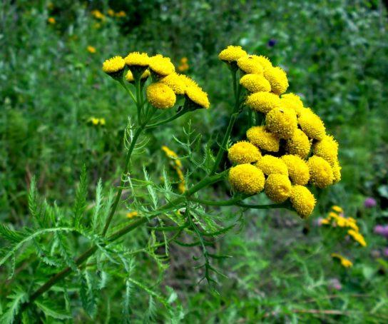 растение пижма - фото 3