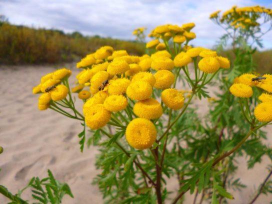 растение пижма - фото 4