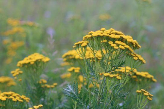 растение пижма - фото 5