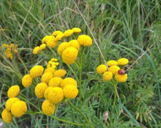 растение пижма - фото 6
