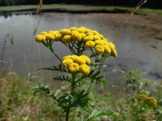 растение пижма - фото 8