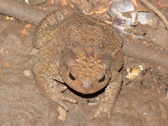кавказская жаба- фото 2