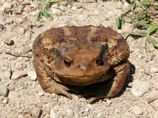 кавказская жаба- фото 3