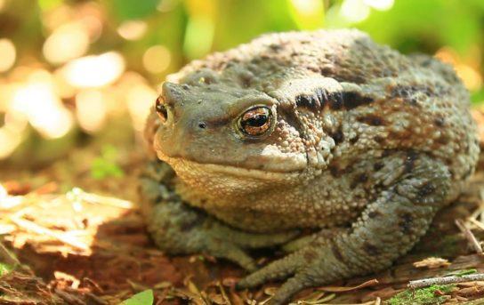 кавказская жаба- фото 4