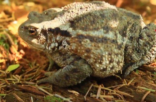 кавказская жаба- фото 5