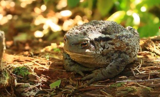 кавказская жаба- фото 6
