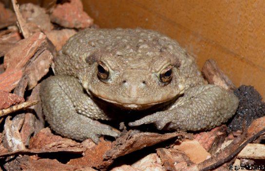 кавказская жаба- фото 7