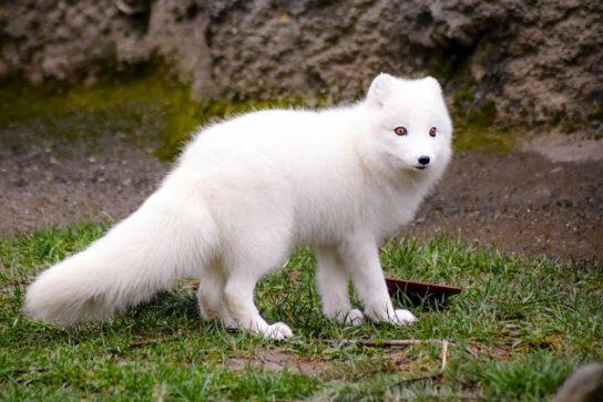 как выглядит полярная лисица