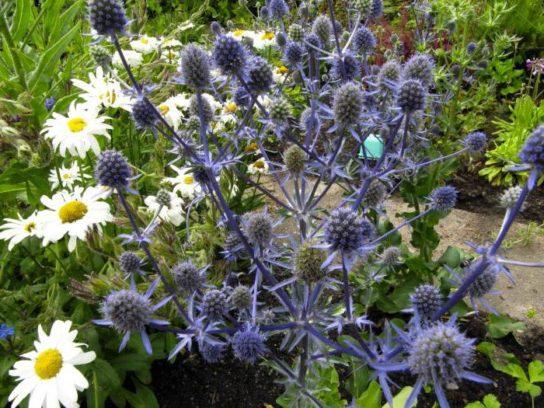 Синеголовник плосколистный - фото 8