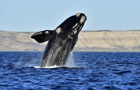 описание японского кита